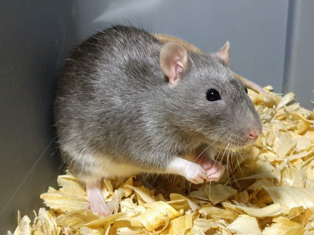 Fancy rat Owned by other Rattus norvegicus United States, Albuquerque
