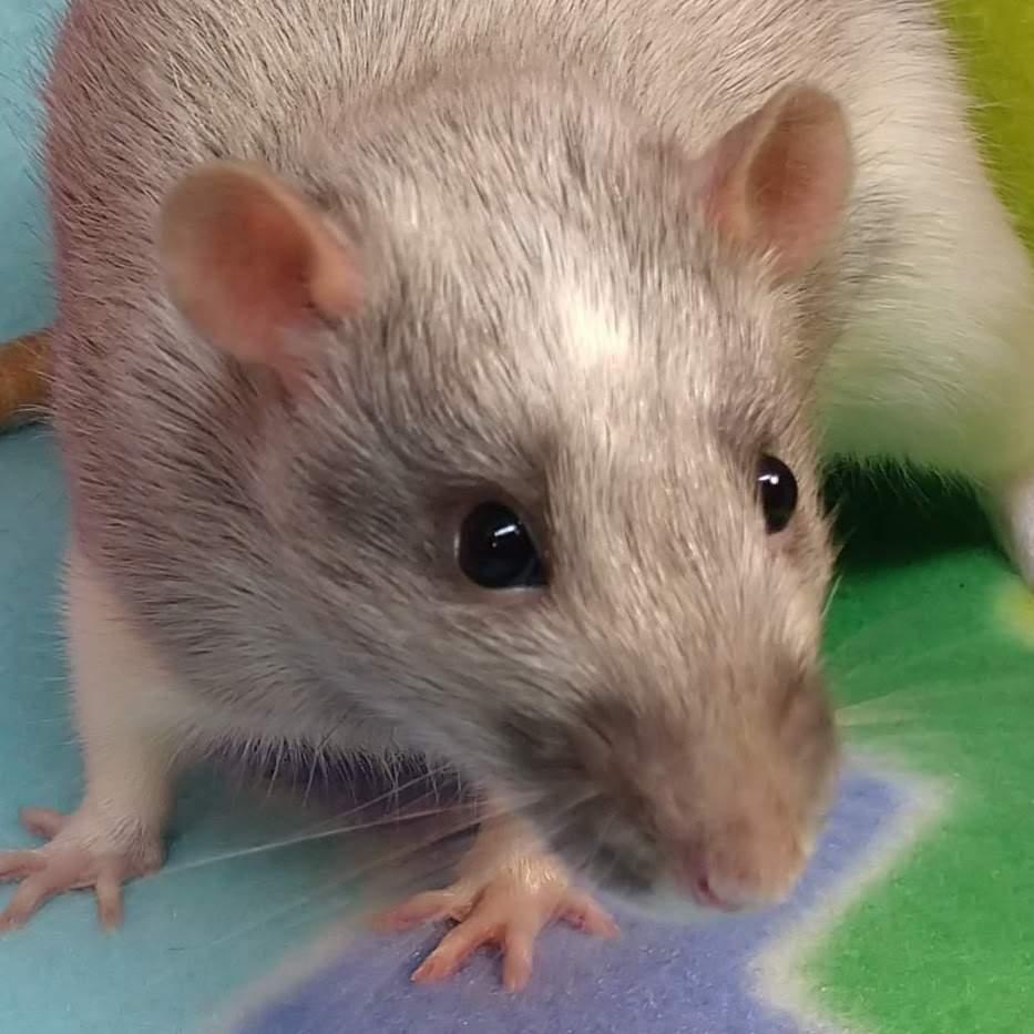 Fancy rat Retired Rattus norvegicus United States, Albuquerque