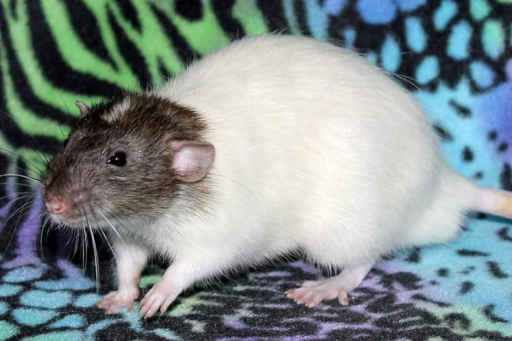 Fancy rat Deceased Rattus norvegicus