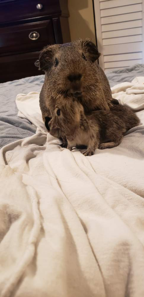 American guinea pig Pet only Cavia porcellus
