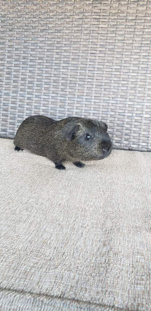 American guinea pig Pet only Cavia porcellus