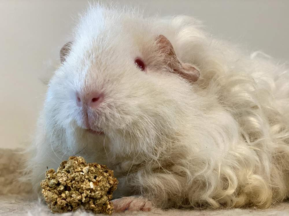 Texel Breeder Cavia porcellus United States, Copiague