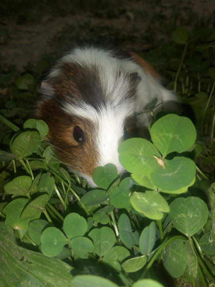 American Crested guinea pig Pet only Cavia porcellus