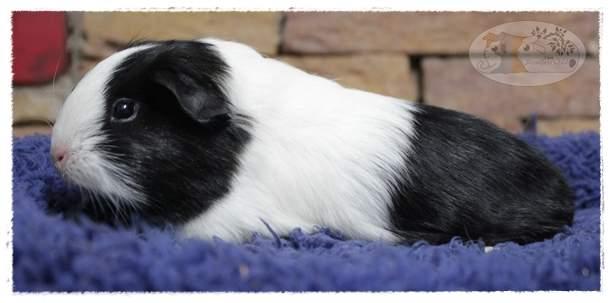 Sheltie guinea pig Breeder Cavia porcellus
