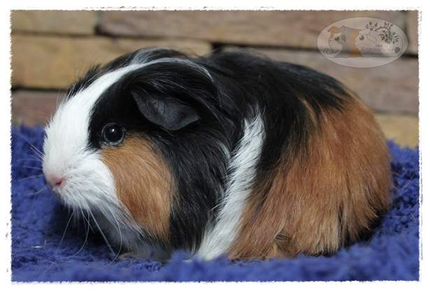 Sheltie guinea pig Available for rehoming Cavia porcellus