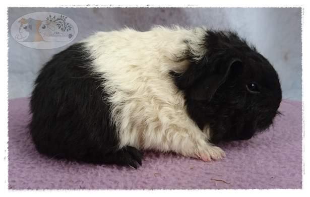 Texel guinea pig Breeder Cavia porcellus