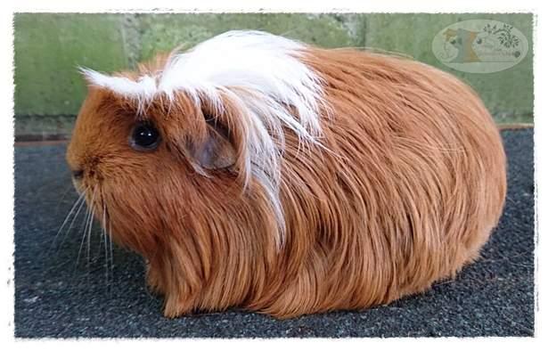 Coronet guinea pig Rehomed Cavia porcellus