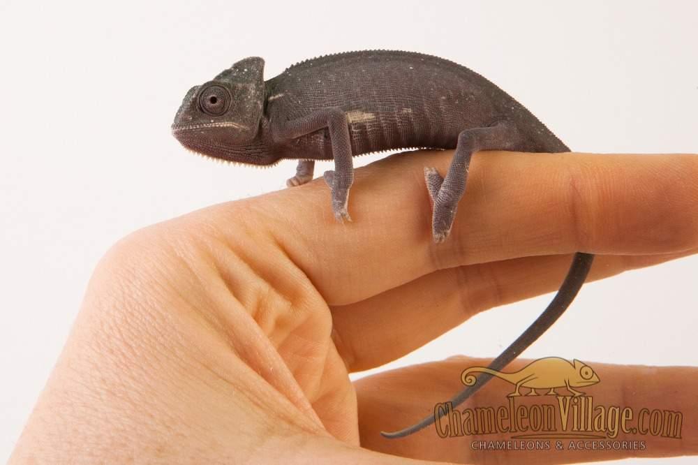 Veiled chameleon Available for rehoming Chamaeleo calyptratus Hungary, Budapest