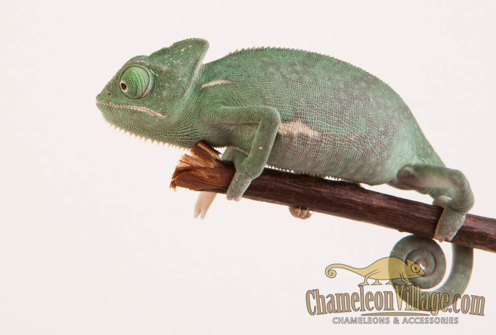 Veiled chameleon Available for rehoming Chamaeleo calyptratus Hungary, Budapest