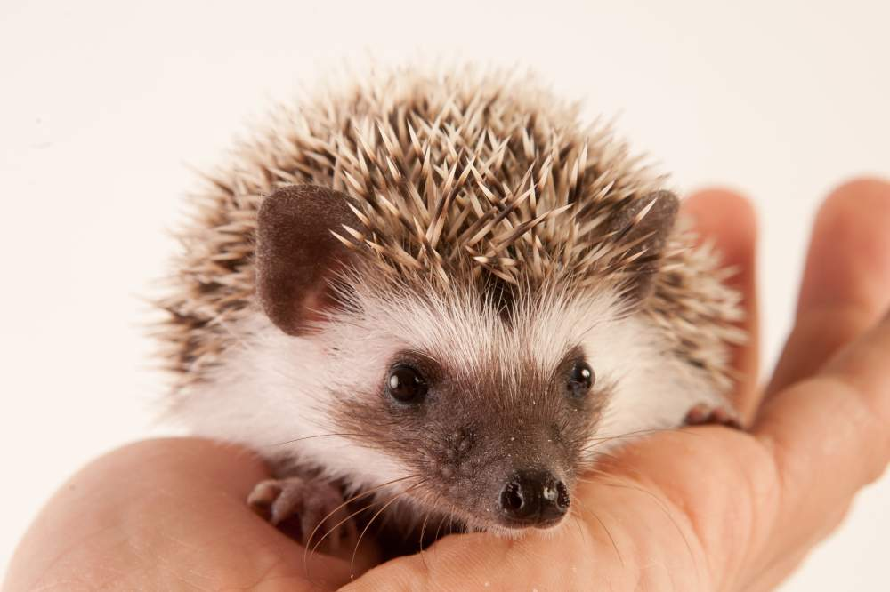 African pygmy hedgehog Available for rehoming Atelerix albiventris Hungary, Budapest