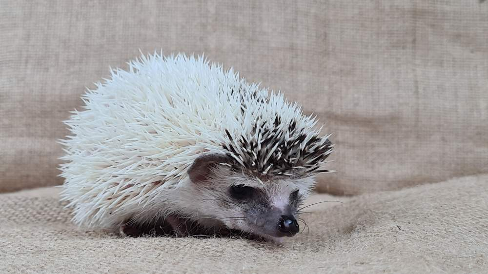 African pygmy hedgehog Available for rehoming Atelerix albiventris