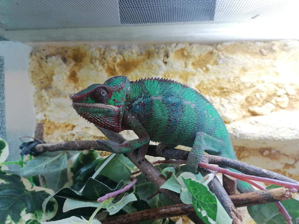 Panther chameleon Available for rehoming Furcifer pardalis Hungary, Budapest