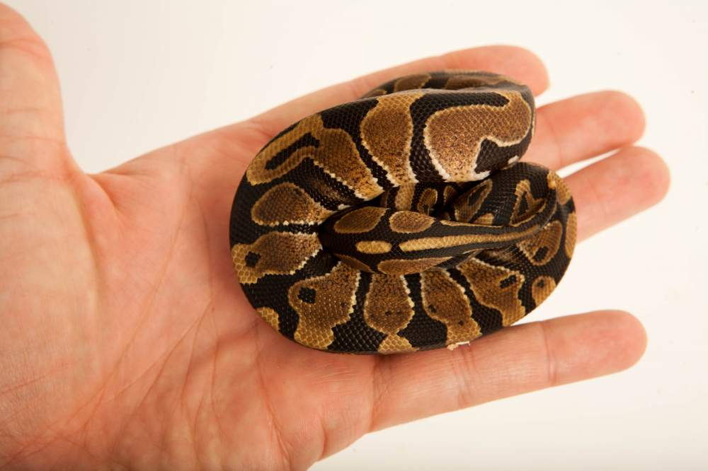 Ball python Available for rehoming Python regius Hungary, Budapest