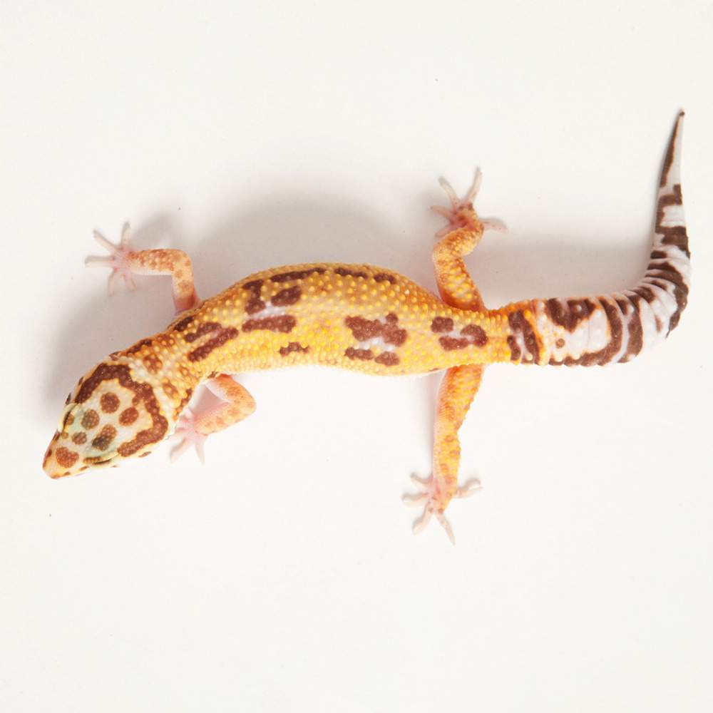 Leopard gecko Available for rehoming Eublepharis macularius Hungary, Budapest