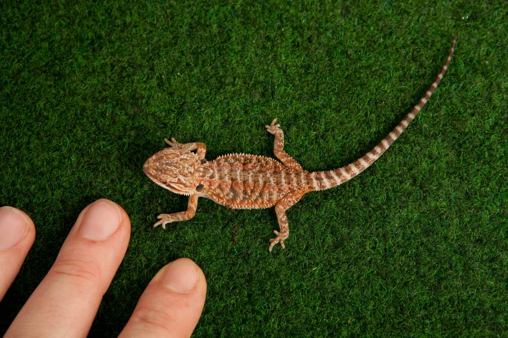 Bearded dragon Available for rehoming Pogona vitticeps Hungary, Budapest
