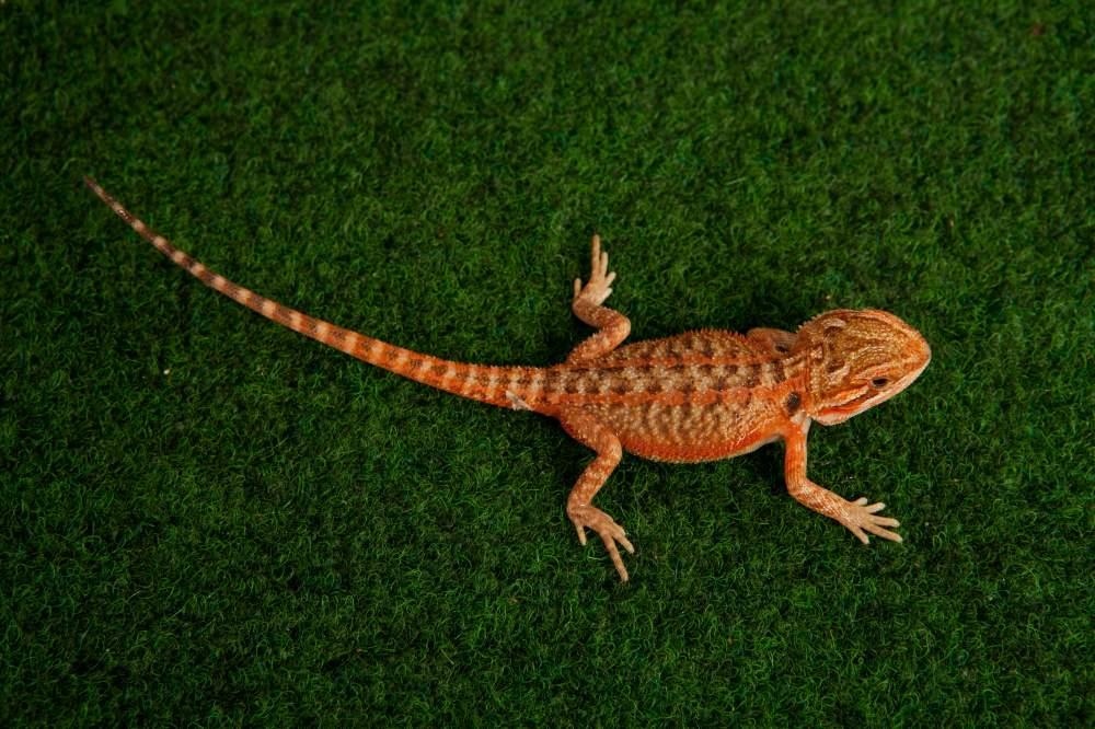 Bearded dragon Available for rehoming Pogona vitticeps Hungary, Budapest