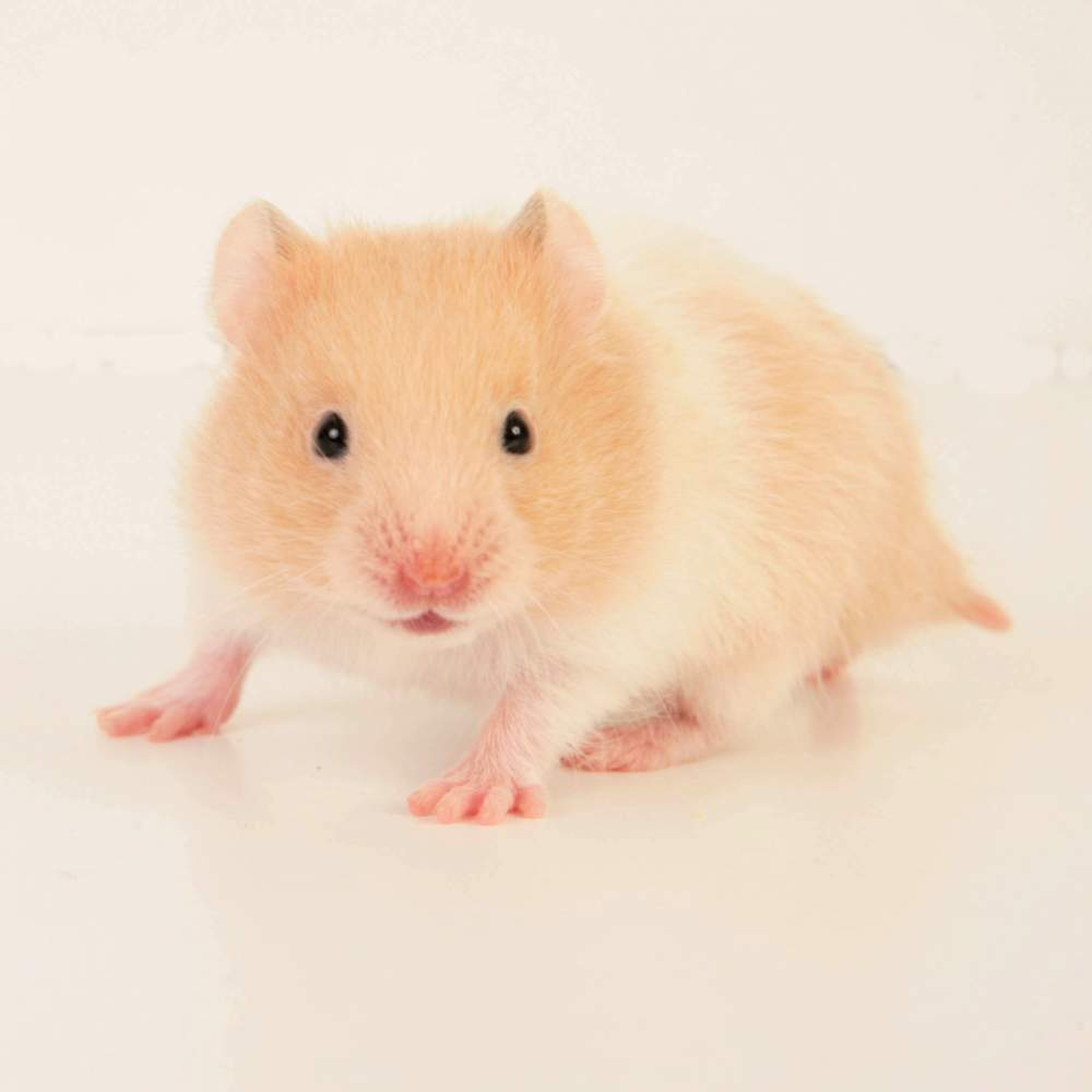 Golden hamster Available for rehoming Mesocricetus auratus Hungary, Budapest
