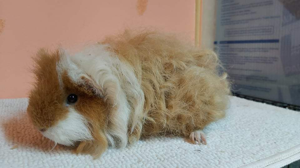 Texel guinea pig Owned by other Cavia porcellus