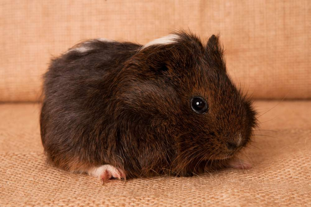 Guinea pig Available for rehoming Cavia porcellus Hungary, Budapest