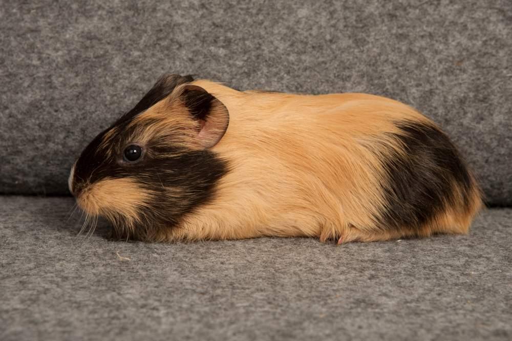 Guinea pig Rehomed Cavia porcellus