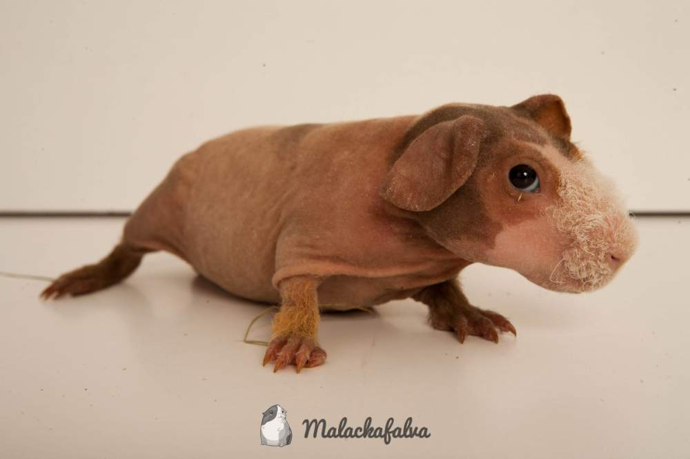 Hairless guinea pig Available for rehoming Cavia porcellus Hungary, Budapest