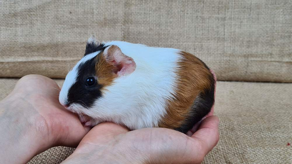 Guinea pig Available for rehoming Cavia porcellus