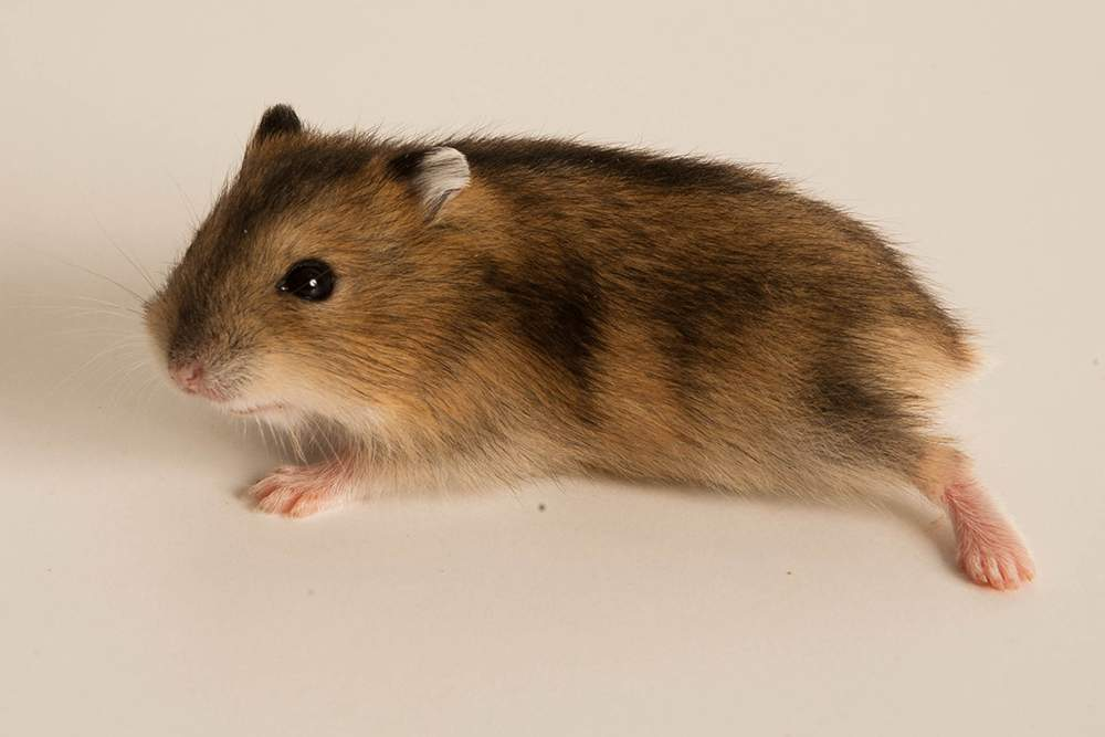 Winter white dwarf hamster Available for rehoming Phodopus sungorus sungorus Hungary, Budapest