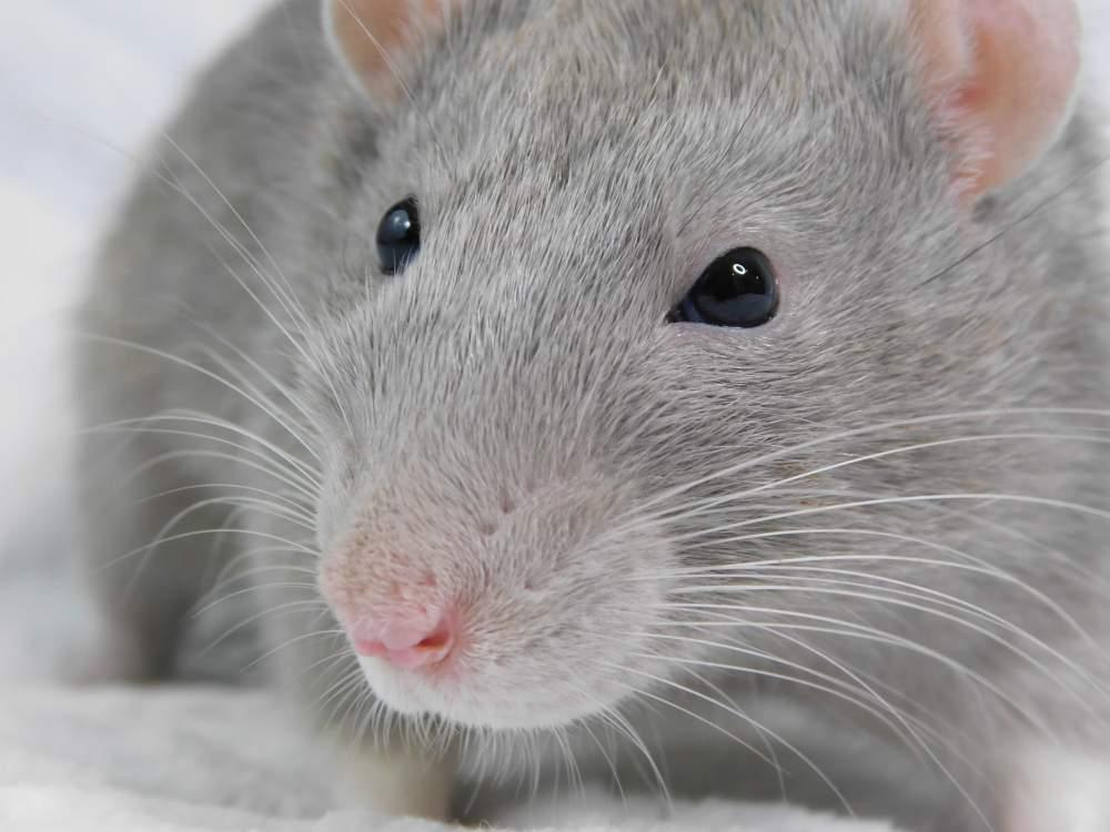 Fancy rat Breeder Rattus norvegicus United States, Denver