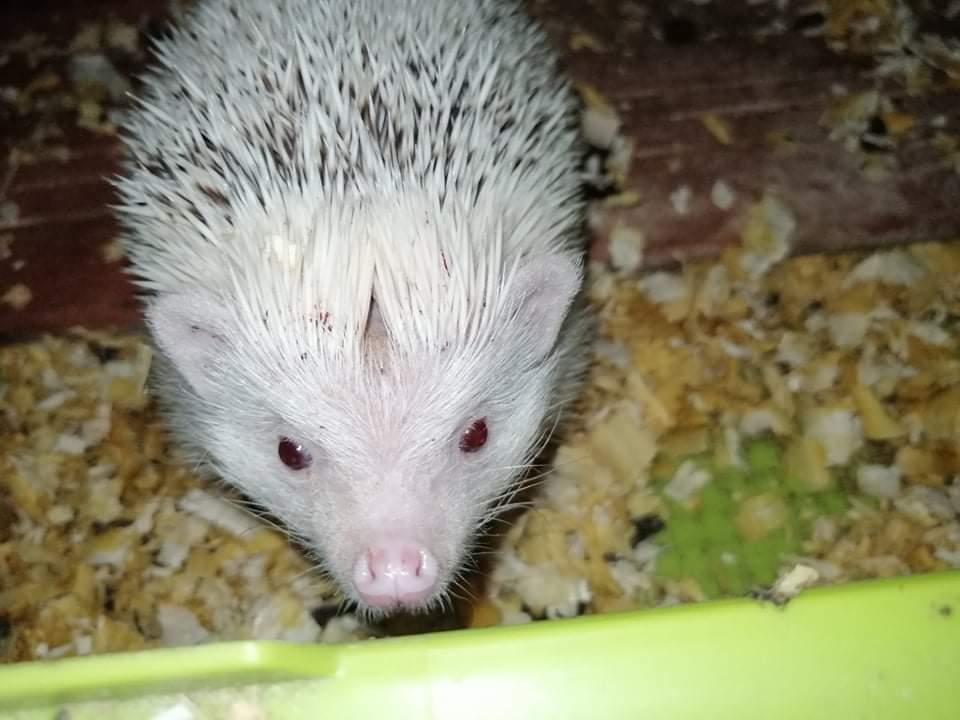 African pygmy hedgehog Pet only Atelerix albiventris Hungary, Mezotarkany