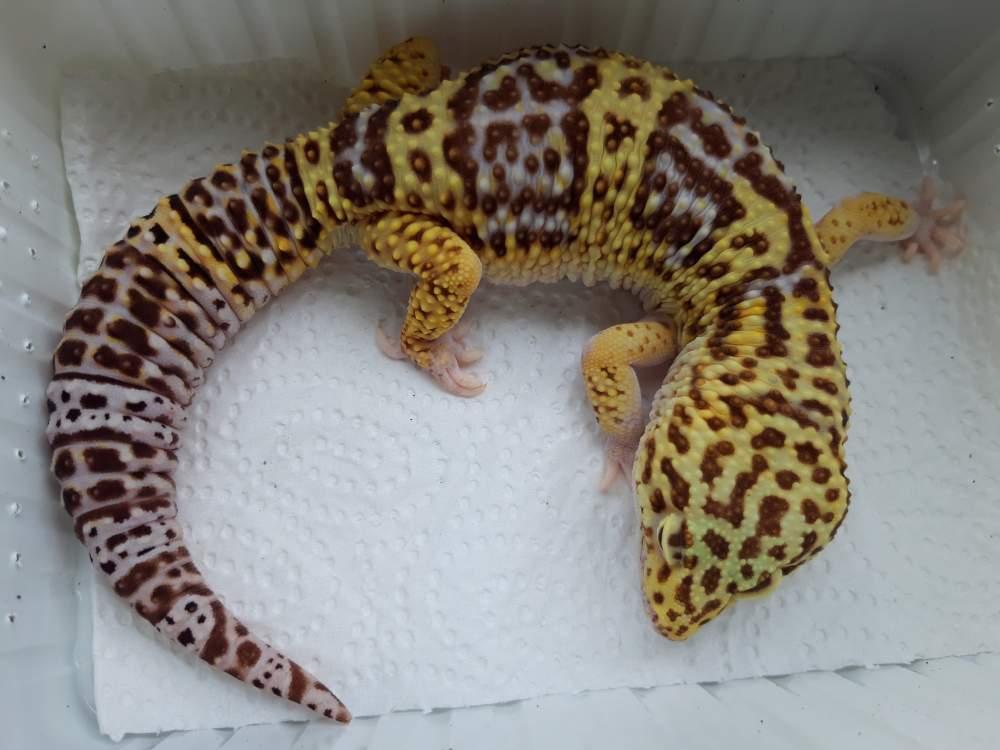 Leopard gecko Breeder Eublepharis macularius