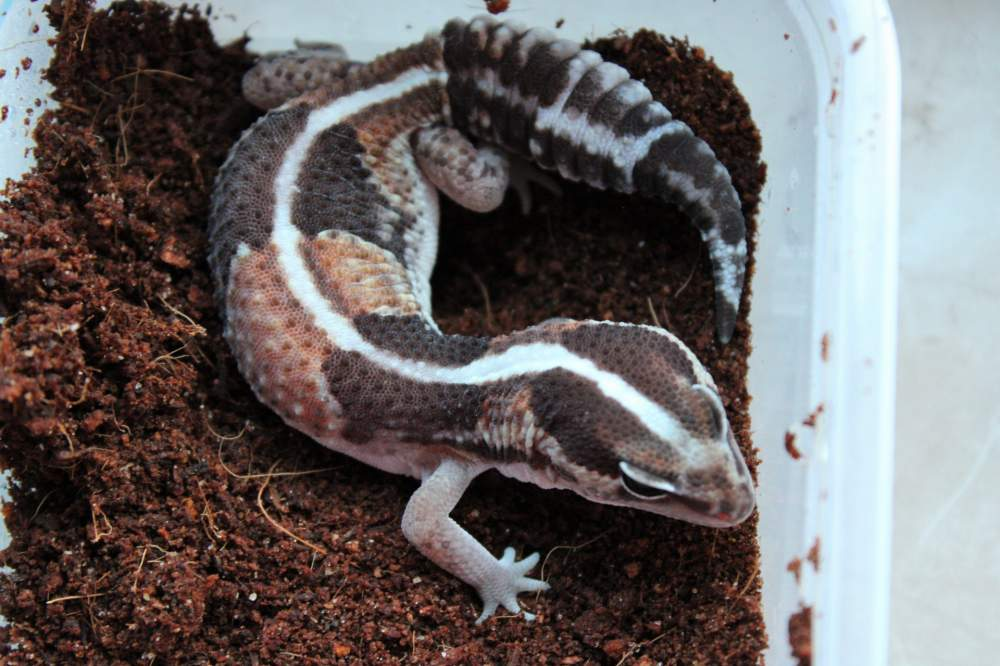 African fat-tailed gecko Breeder Hemitechonyx caudicinctus