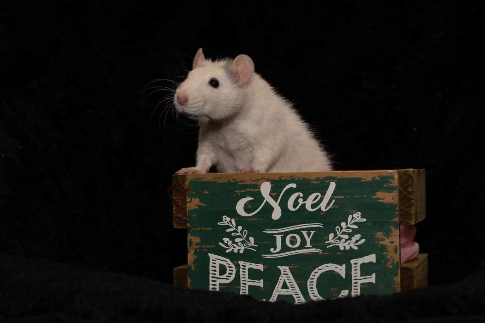 Fancy rat Pet only Rattus norvegicus United States, West Palm Beach