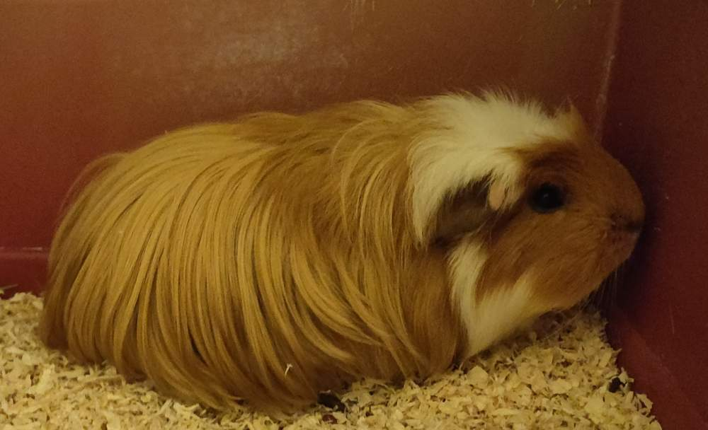 Coronet guinea pig Pet only Cavia porcellus Germany