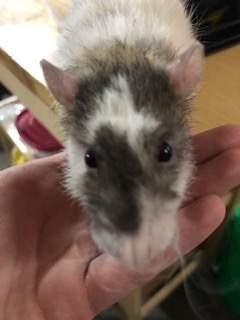 Fancy rat Breeder Rattus norvegicus United States, Omaha