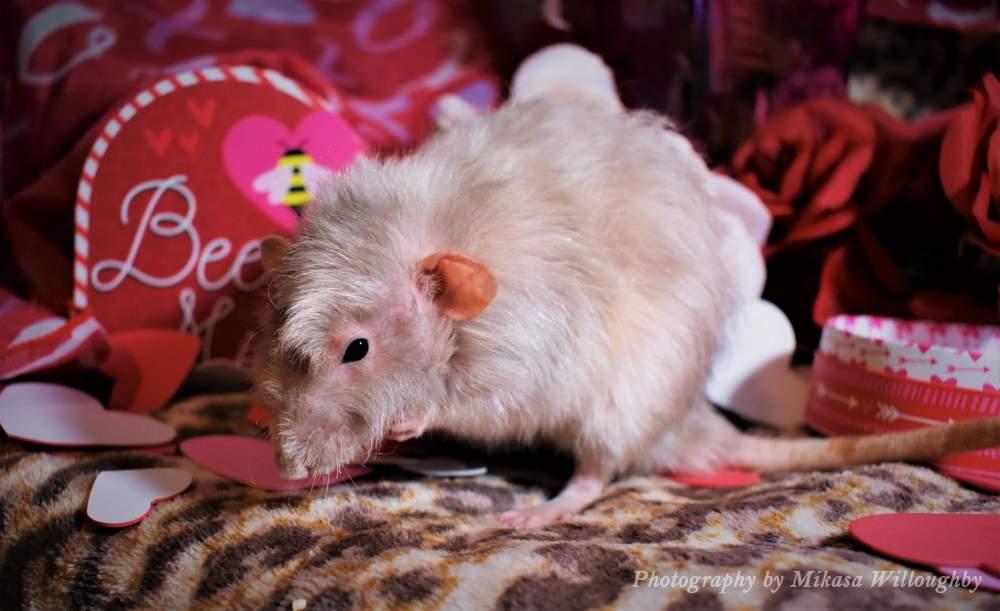 Fancy rat Breeder Rattus norvegicus United States, Lexington
