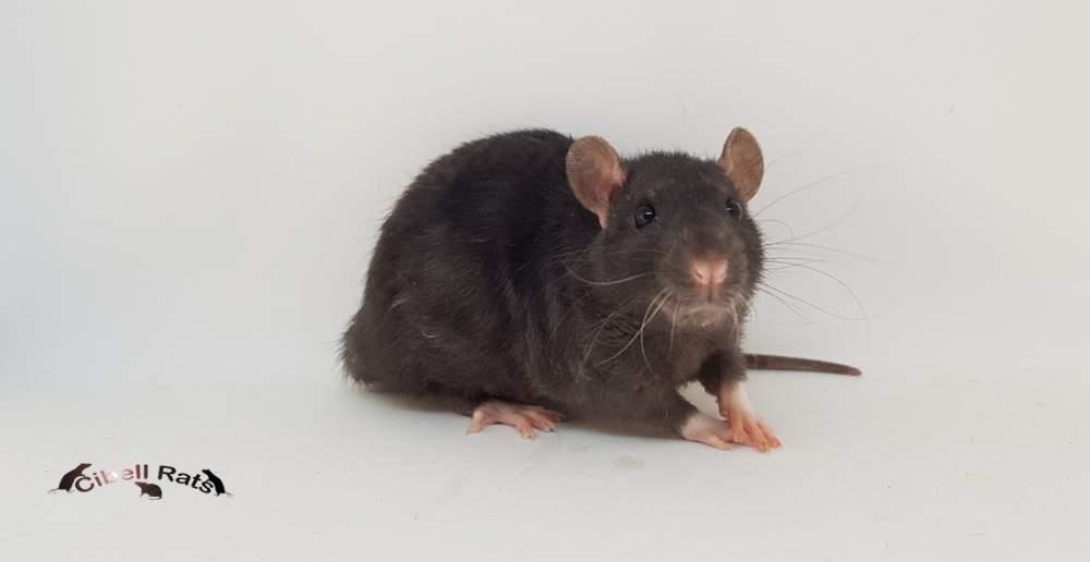 Fancy rat Pet only Rattus norvegicus Denmark