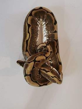 Ball python Breeder Python regius