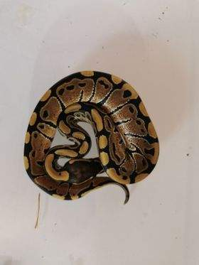 Ball python Available for rehoming Python regius