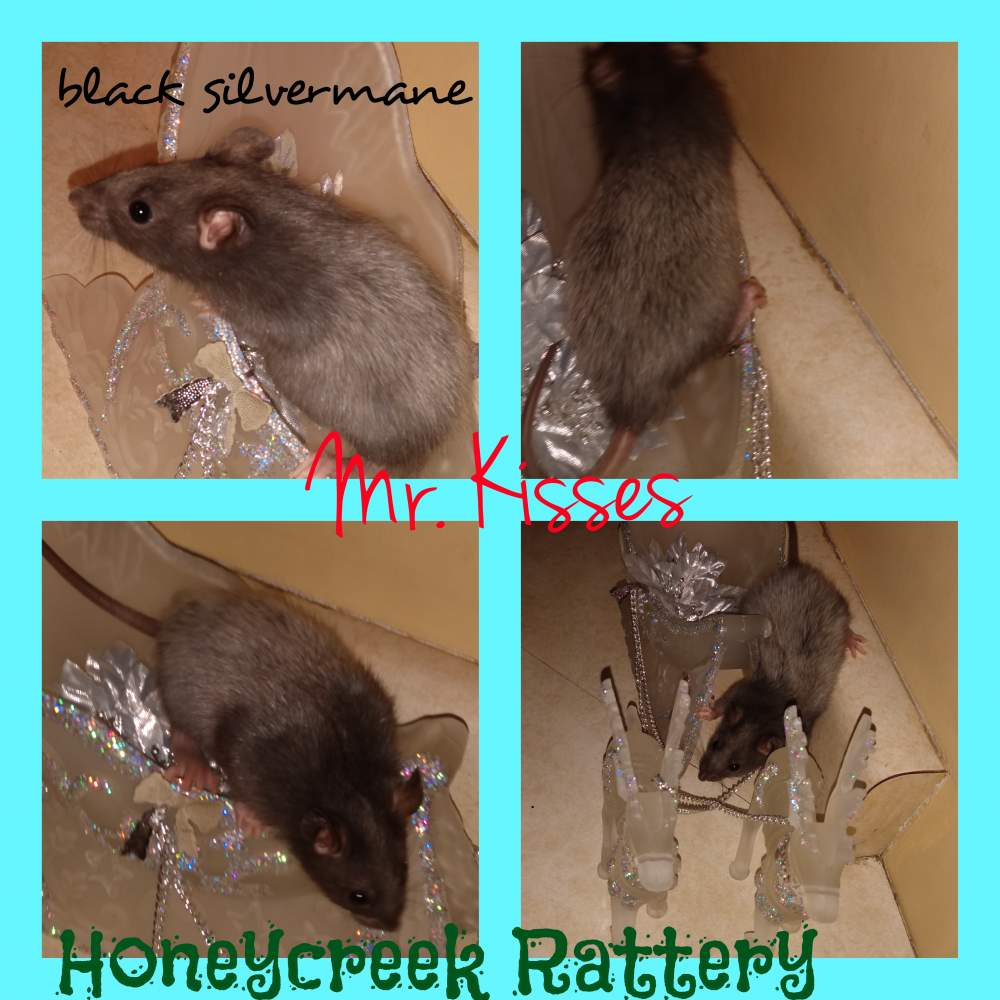 Fancy rat Pet only Rattus norvegicus United States