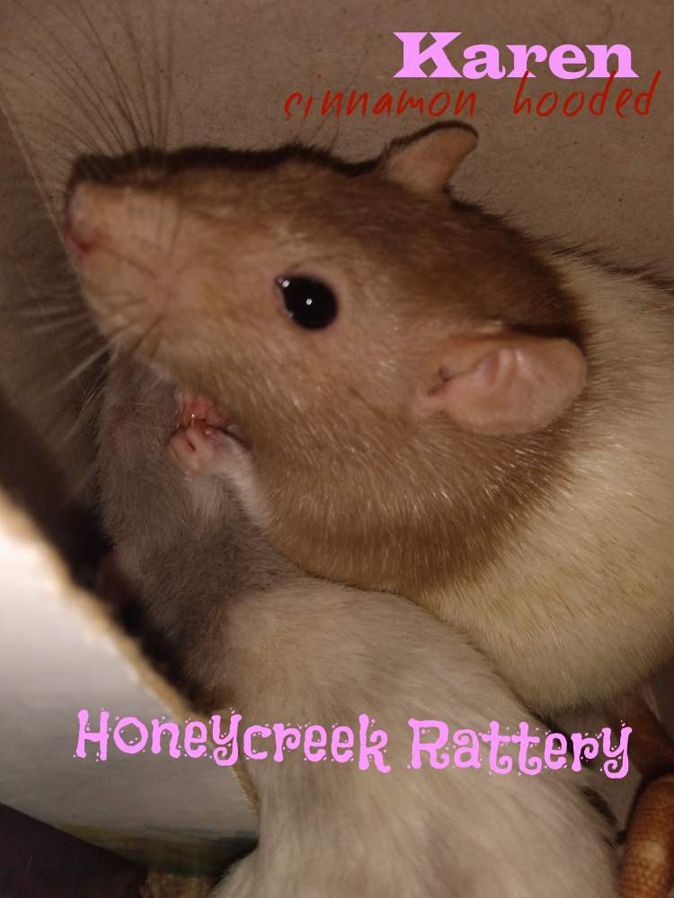 Fancy rat Pet only Rattus norvegicus United States