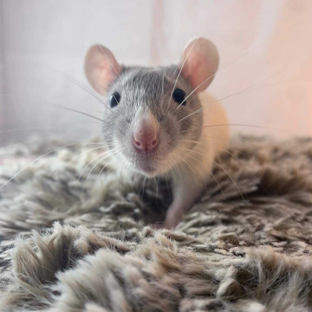 Fancy rat Breeder Rattus norvegicus United States, Wilmington