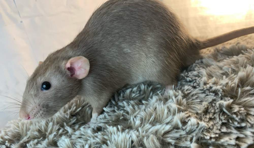 Fancy rat Breeder Rattus norvegicus United States, Wilmington