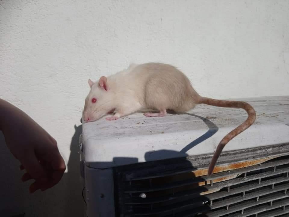 Fancy rat Deceased Rattus norvegicus Bulgaria, Burgas