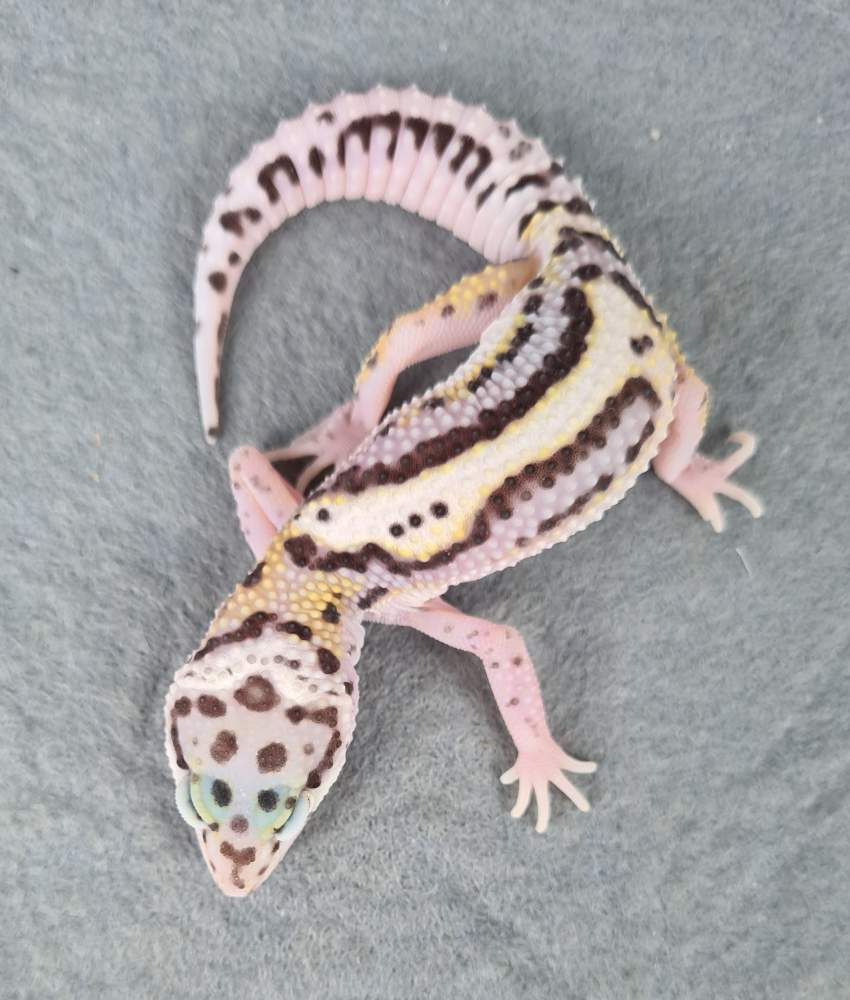 Leopard gecko Available for rehoming Eublepharis macularius