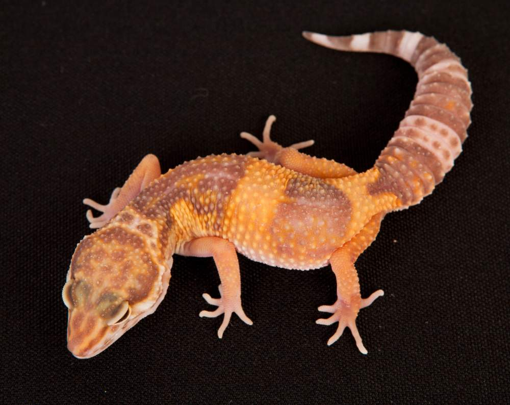 Leopard gecko Rehomed Eublepharis macularius Hungary, Budapest
