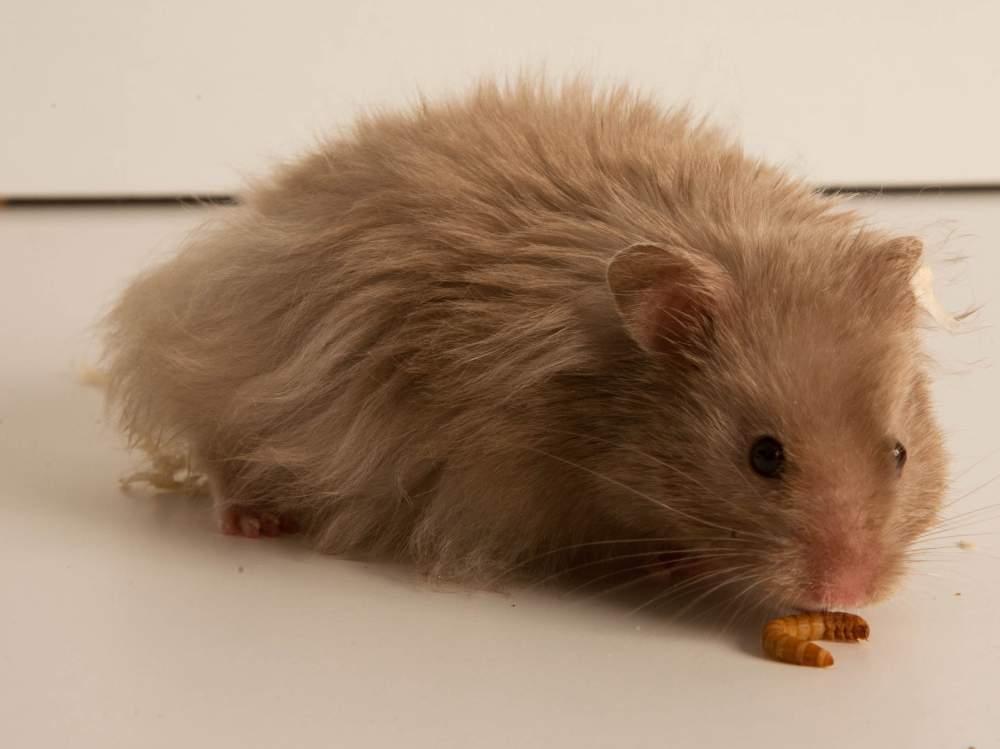 Golden hamster Deceased Mesocricetus auratus Hungary, Budapest