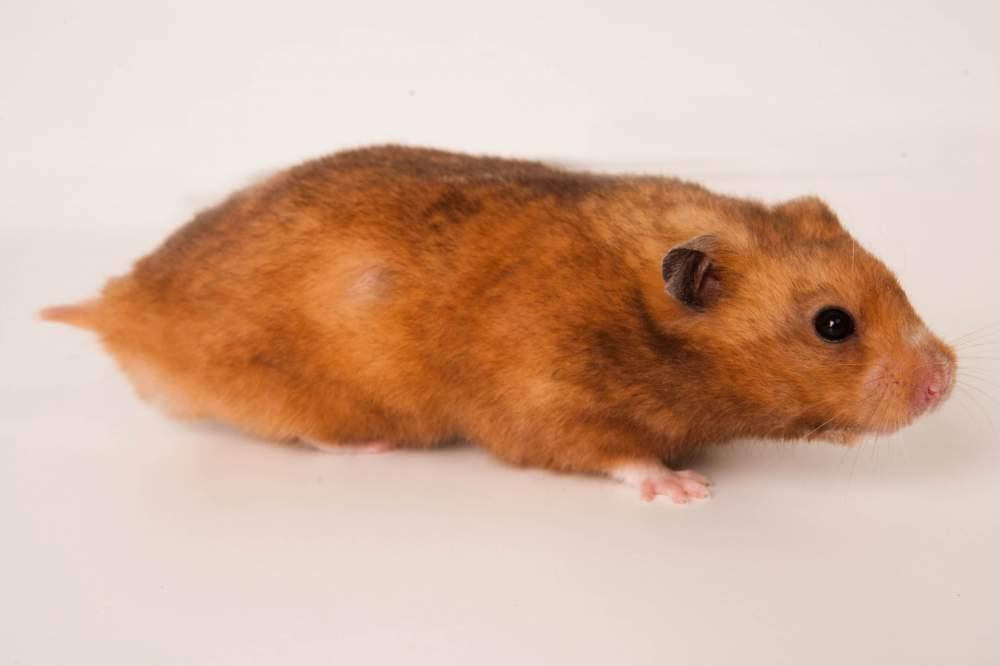 Golden hamster Breeder Mesocricetus auratus Hungary, Budapest