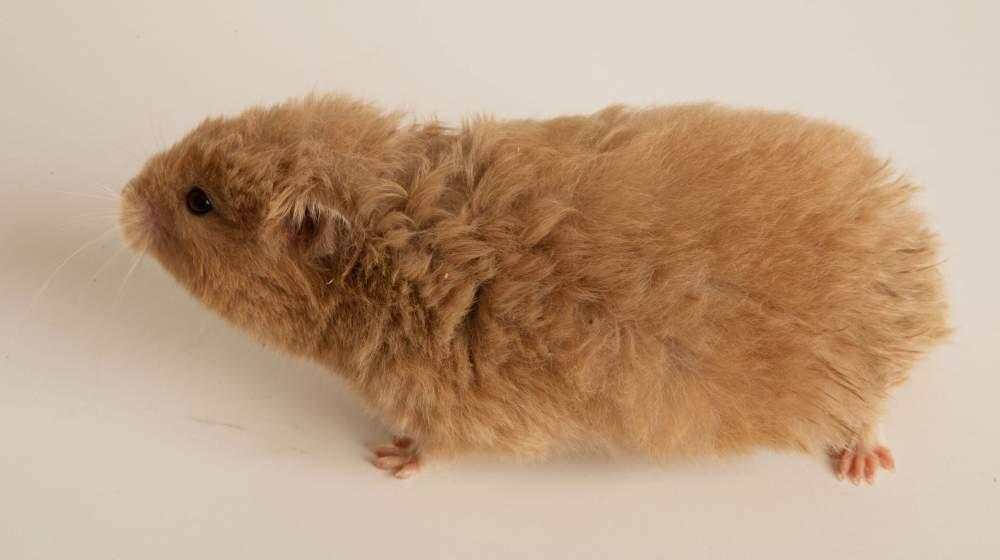 Golden hamster Retired Mesocricetus auratus Hungary, Budapest