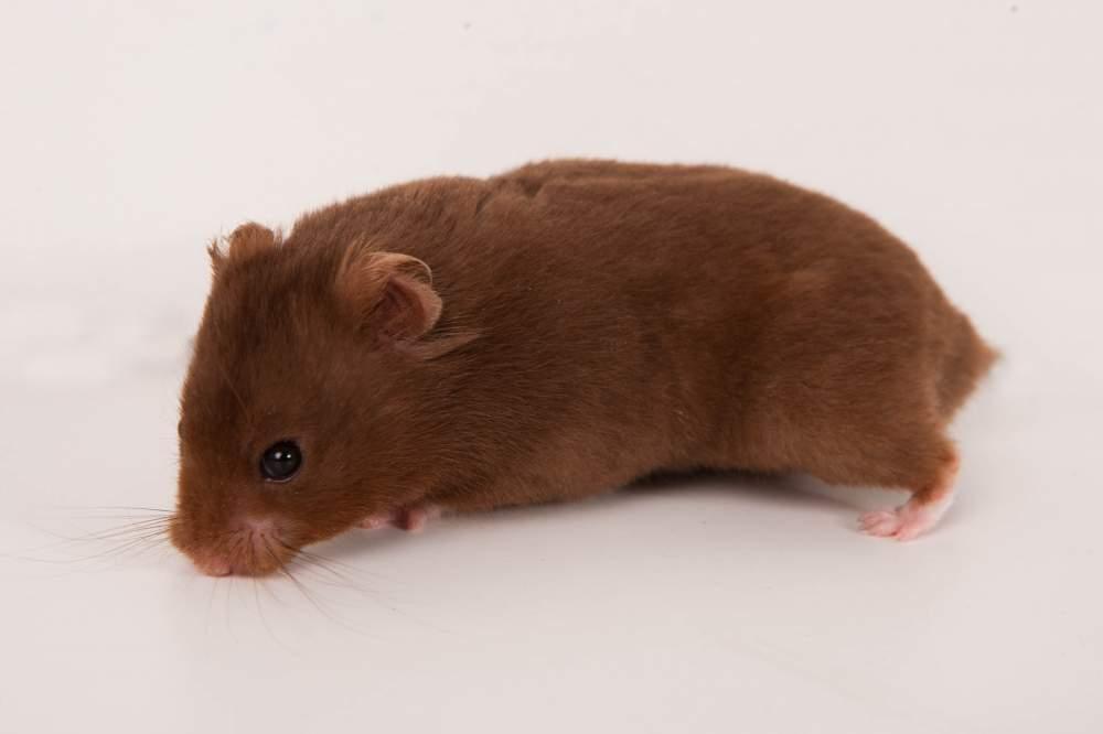 Golden hamster Breeder Mesocricetus auratus