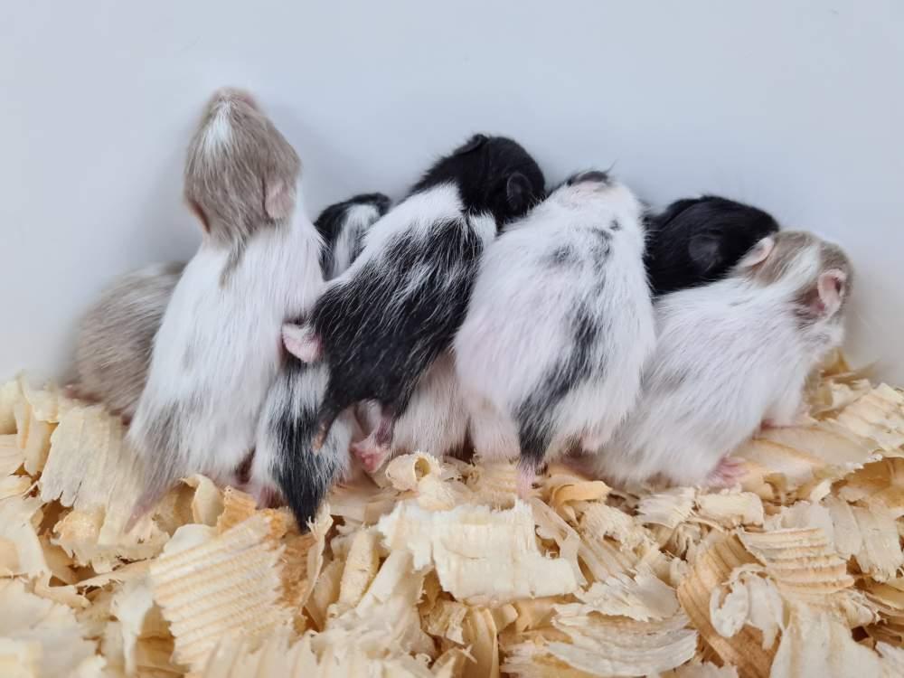 Golden hamster Rehomed Mesocricetus auratus
